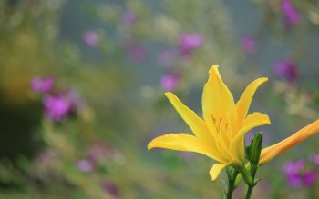 Wallpaper: Yellow Lily