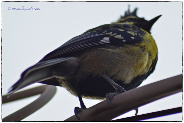 Himalayan Black-lored Tit, Bottom