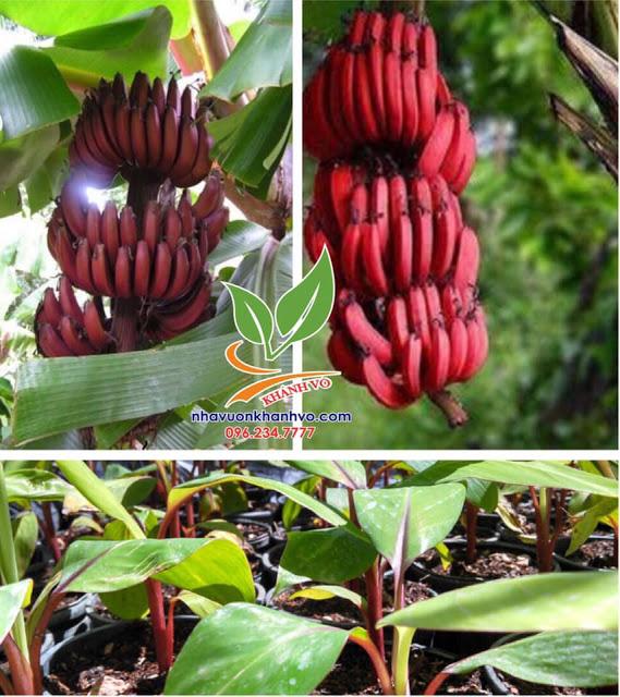 Chuối đỏ Dacca Úc cây đẹp - giá rẻ
