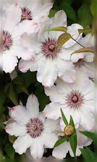 Flores blancas con el centro guinda fondos wallpaper para teléfono móvil resolución 480x800