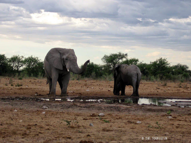 Travel Namibia. Etosha. Baby elephant, waterhole. Elephants