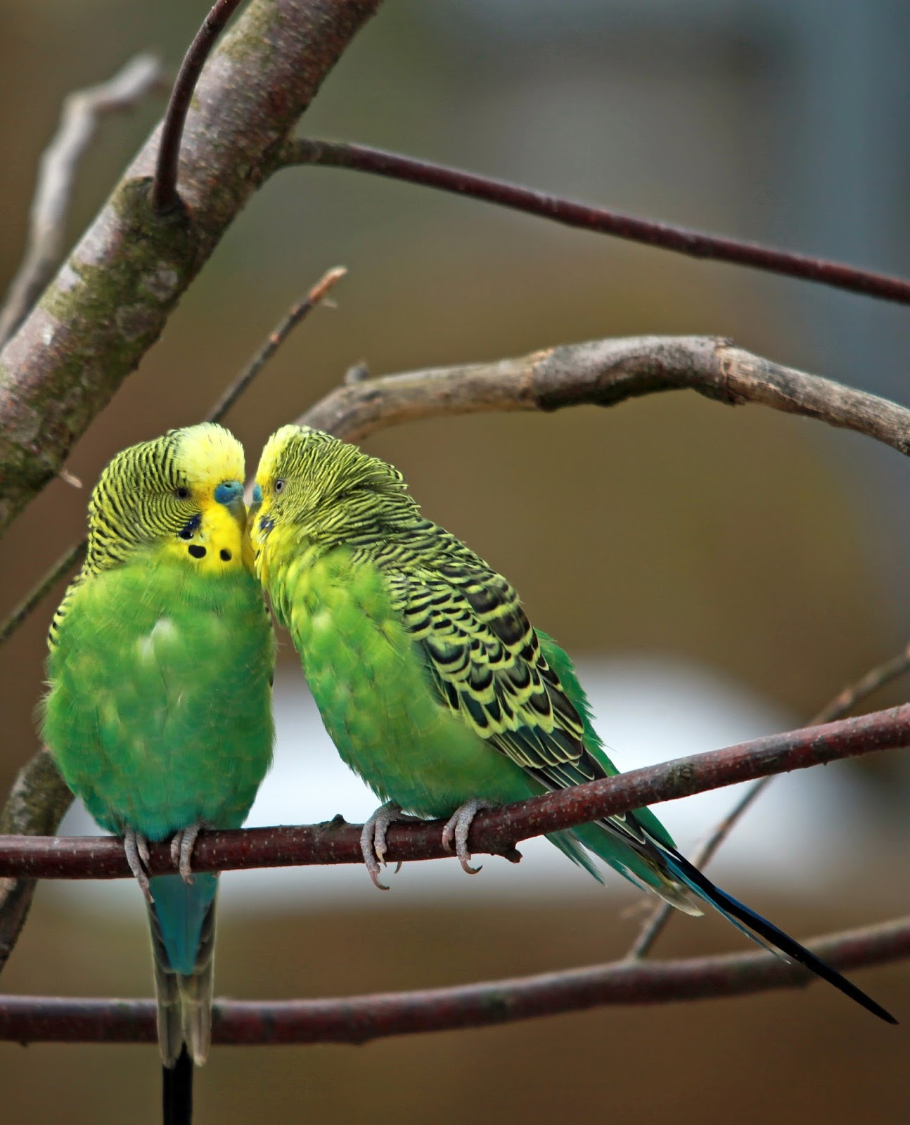 Picture of a budgerigar pair.