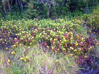 Darlingtonia californica, California Pitcherplant