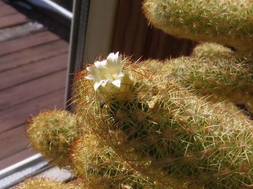 white blooming cactus