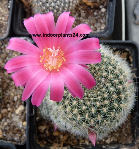 Red Crown Cactus (Rebutia minuscula)