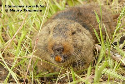 roedores en peligro de extincion Tuco tuco sociable Ctenomys sociabilis