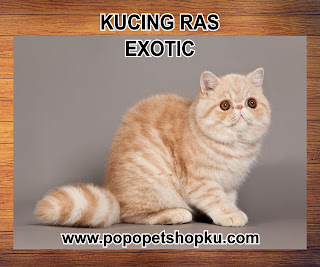 kucing exotic
