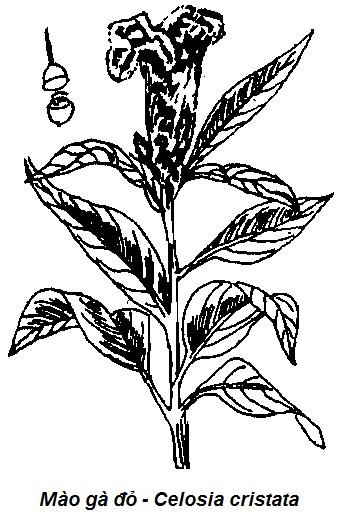Hình vẽ Mào gà đỏ - Celosia cristata - Nguyên liệu làm thuốc Cầm Máu