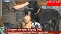 Rekorlar Kitabına Giren Dünyanın En Uzun Köpeği