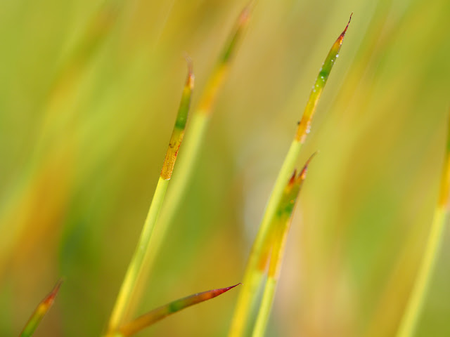 Sporophyt. Ein Stiel mit einer Kapsel.