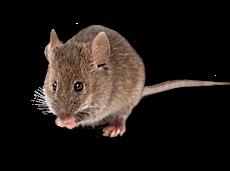 Tikus Rumah Berbentuk kecil dan ramping, hanya seberat 15g
