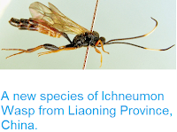 http://sciencythoughts.blogspot.co.uk/2014/03/a-new-species-of-ichneumon-wasp-from.html