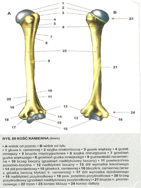 kość ramienna