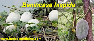 Hemorrhoids treatment use Benincasa hispida