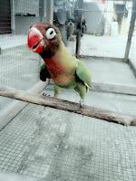 lovebird suara panjang