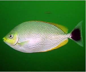 mancing ikan baronang
