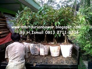 http://4.bp.blogspot.com/-Imf2fig2Pgk/U7UyUnShv-I/AAAAAAAADW8/7Nb6bFJkWkY/s1600/bibitdurianbawor7.jpg