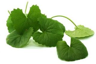 Manfaat tanaman Pegagan untuk obat ambeien