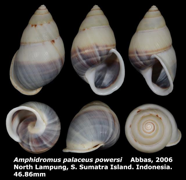 Amphidromus palaceus powersi 46.86mm