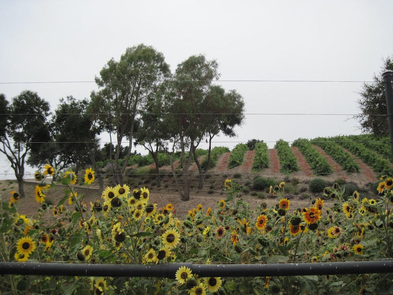 2019 Paso Robles and Templeton Wine Country Calendar: Vineyard and Sunflowers Photo