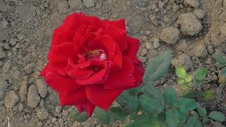 Rose Flower in National Rose Garden Delhi 2081
