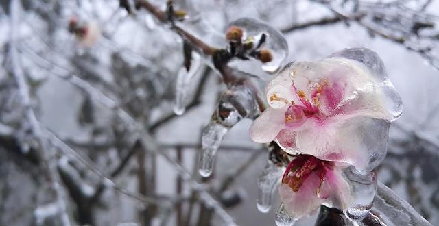Peach blossom in ice snow in Sapa