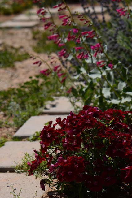 small sunny garden, amy myers, desert garden, garden bloggers bloom day, dianthus