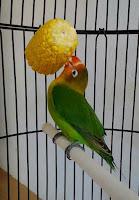 Merawat burung lovebird supaya menjadi burung CARA MERAWAT BURUNG LOVEBIRD SECARA LENGKAP
