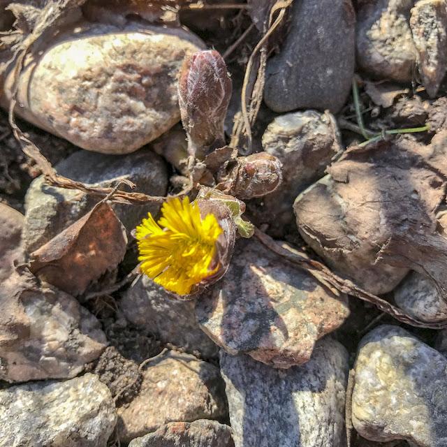 tussilago, vårblomma