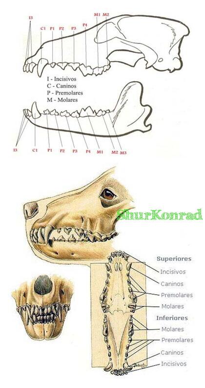 Cachorro que edad dientes tiene dientes Cachorra ShurKonrad 2