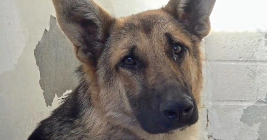 1-Year Old Depressed Shepherd Living in Kill Shelter, Is Just Too Sad To Greet Visitors Anymore