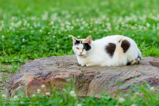 怖い顔でこっちを睨んでいる三毛猫(トビミケ)の写真