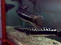 Budidaya Ikan Toman Dalam Akuarium