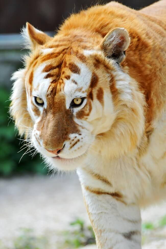 The Rarest Things We Have Ever Seen Captured In 17 Mind-Blowing Pictures - This golden tiger is believed to be one of the 30 that exist in the whole world.