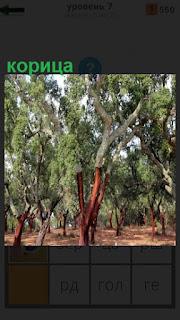 В лесу растут несколько деревьев, так растет корица