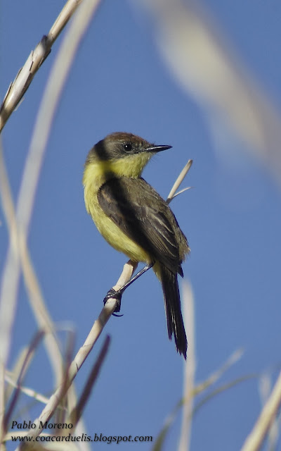 "alt=""doradito limon,Pseudocolapterix citreola,aves de Mendoza"""