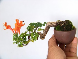 honeysuckle bonsai care, japanese honeysuckle bonsai, honeysuckle bonsai for sale, box honeysuckle bonsai, lonicera bonsai, lonicera nitida bonsai