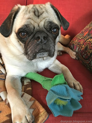 Liam the pug on the couch with his toy