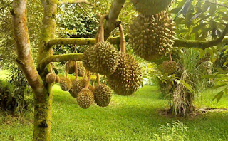 Power Nutrition untuk Durian