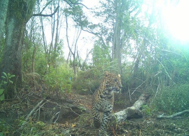 Terdeteksi 10 individu Macan Tutul Jawa di Gunung Guntur-Papandayan