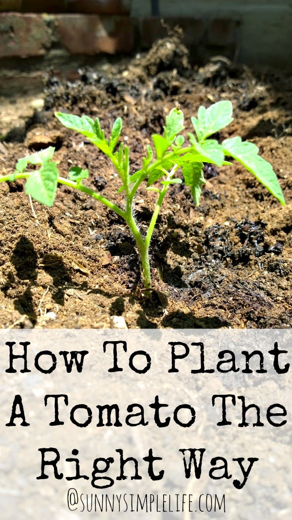 How To Plant Tomatoes The Right Way | growing great tomatoes | getting a better harvest of tomatoes | vegetable gardening tips
