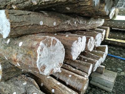 原木しいたけホダ木 木口
