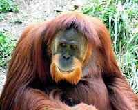 ZOOFILIA - ORANGOTANGO FÊMEA PROSTITUÍDA ZOOFILIA - ORANGOTANGO FÊMEA PROSTITUÍDA   Uma orangotango fêmea foi encontrada toda depilada, maquiada, perfumada e acorrentada à cama, onde era abusada sexualmente em casa de prostituição, na Indonésia.  Uma orangotango fêmea foi encontrada toda depilada, maquiada, perfumada e acorrentada à cama, onde era abusada sexualmente em casa de prostituição, na Indonésia.
