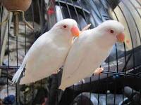 5 Perbedaan Burung Lovebird Albino dan Pastel Putih