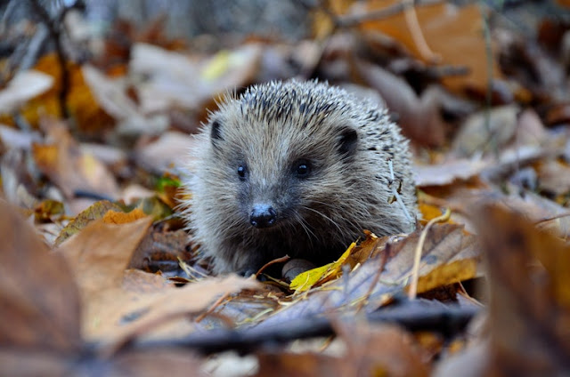 Hedgehog walking among the leaves