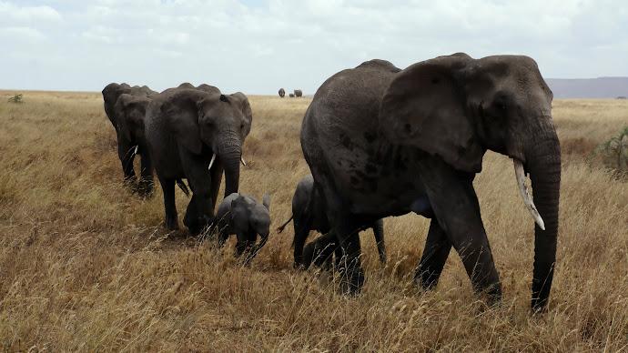 Wallpaper: Elephants in Serengeti National Park