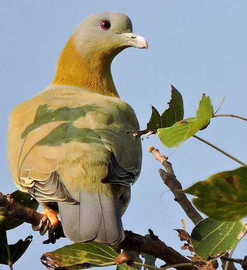 Birds of India - Photo of Yellow-footed green pigeon - Treron phoenicopterus