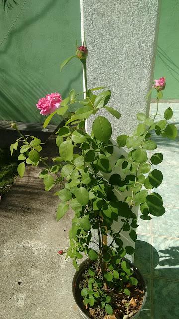 Rosa com Cheiro de jambo