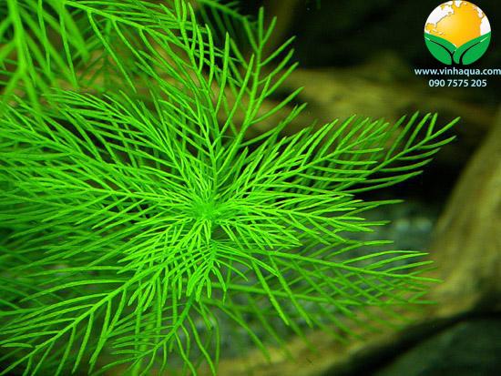 Cận cảnh cây thủy sinh xương cá xanh