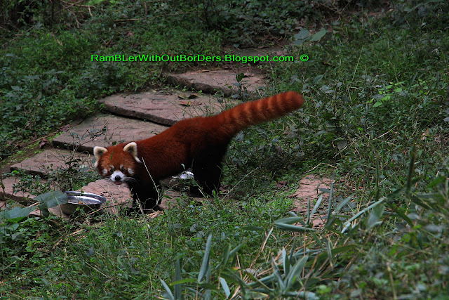 Red panda, Chengdu Research Base of Giant Panda Breeding, Chengdu, Sichuan, China